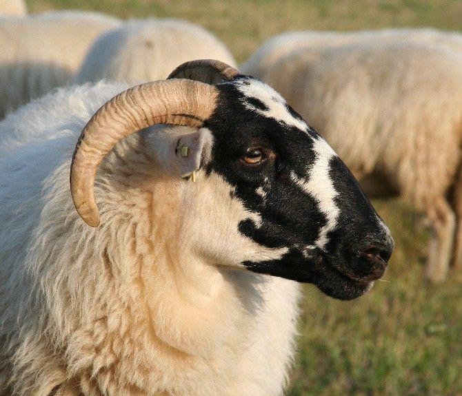 scottish blackface livestock sheep lamb goats