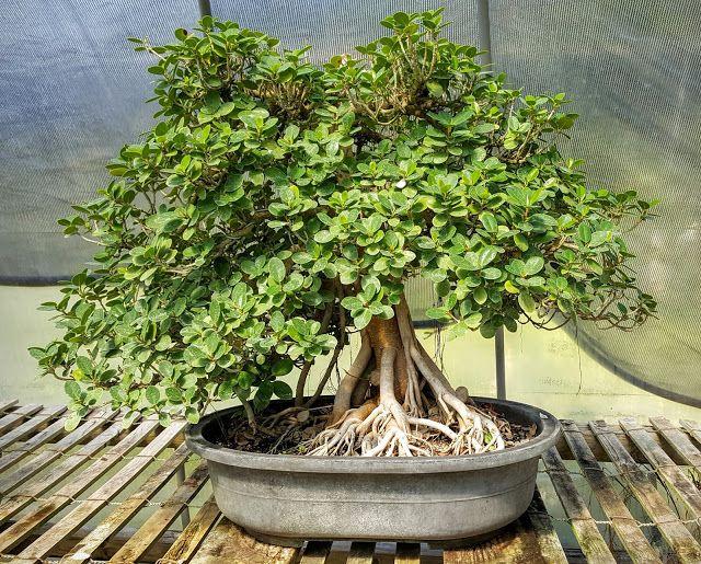 Bonsai Beginnings A Round Leaf Variety Of Ficus Microcarpa Green Island Fig Ficus Microcarpa Ficus Bonsai