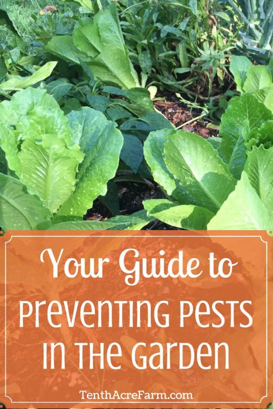 12 Steps to Preventing Garden Pests Naturally is part of garden Tips India - Are you frustrated by finding pests in the garden  Instead of treating pests, follow this guide for preventing garden pests from becoming problems at all