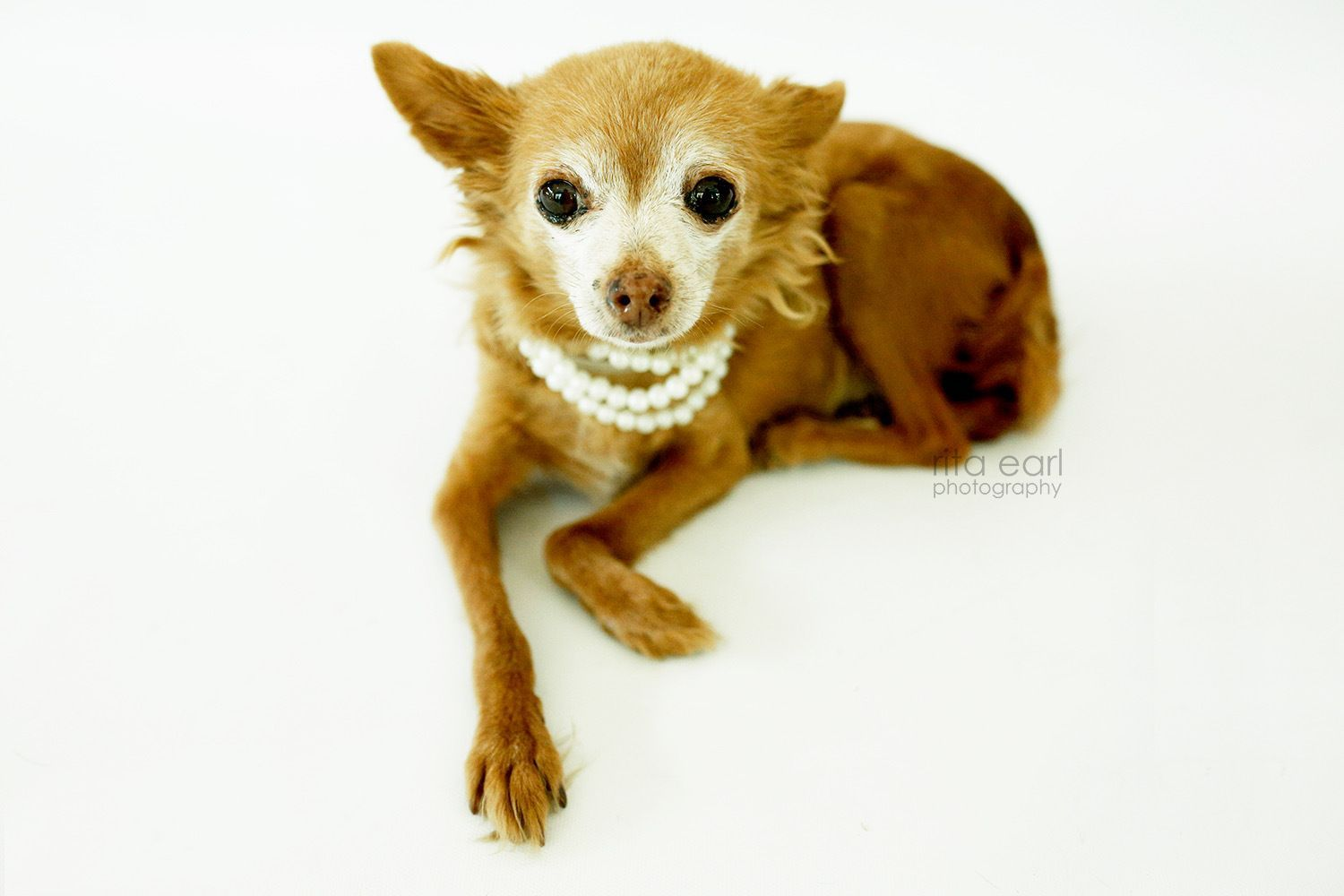 Hiccup Is An Adoptable Dog Papillon Chihuahua Mix Searching