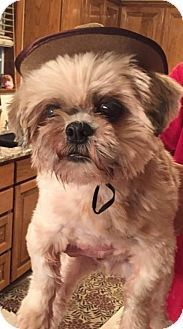 Special Needs Blind Shih Tzu Dog For Adoption In Dallas Texas Deacon Pets Kitten Adoption Dog Adoption