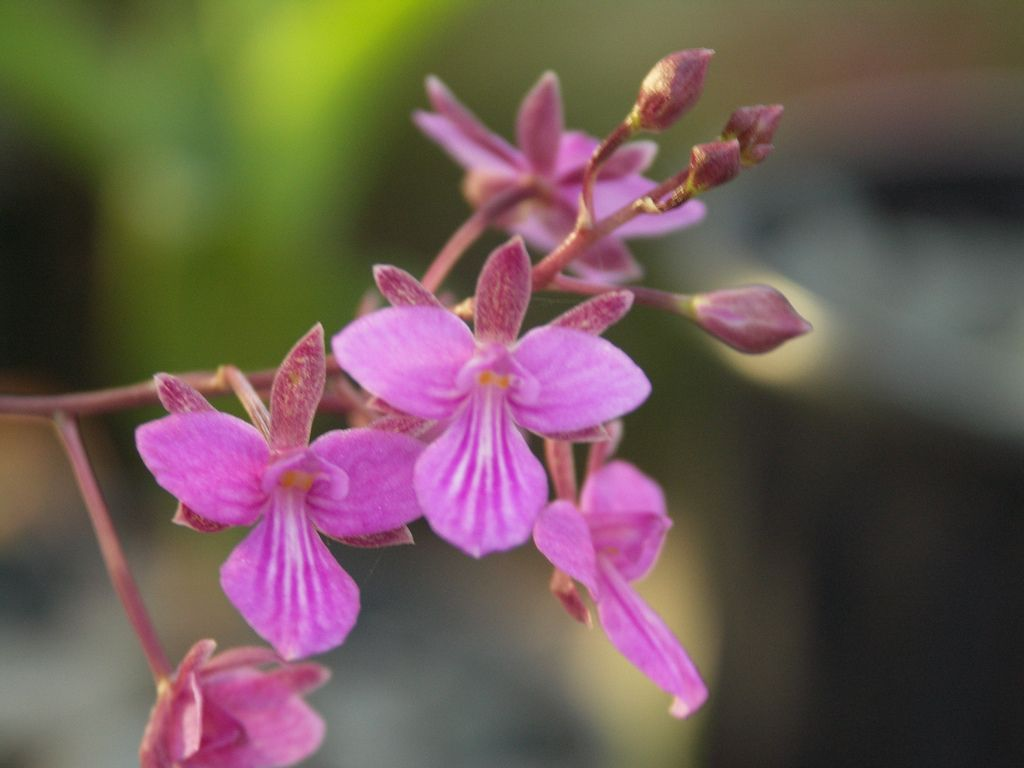 Tetramicra canaliculata orchid and flowers