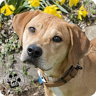 Hound (Unknown Type) Mix Dog for adoption in Troy, Ohio