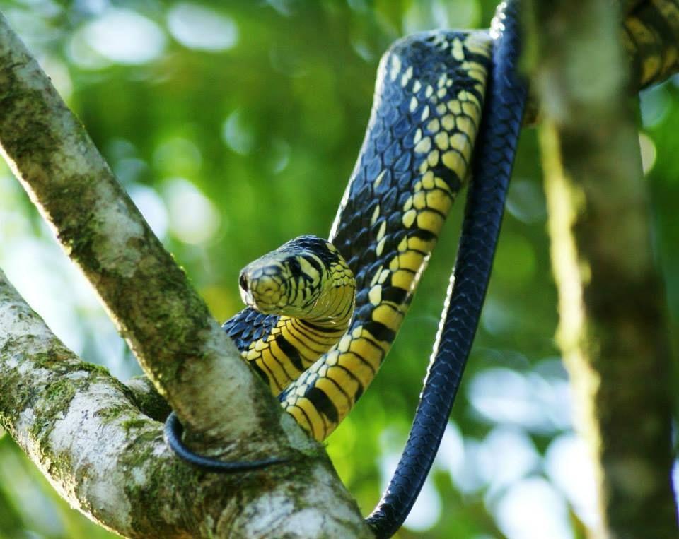 Cobra caninama Caninana (Spilotes pullatus) é uma serpente da família Colubridae, característica da América Central e América do Sul, que também ocorre em Trinidad e Tobago.