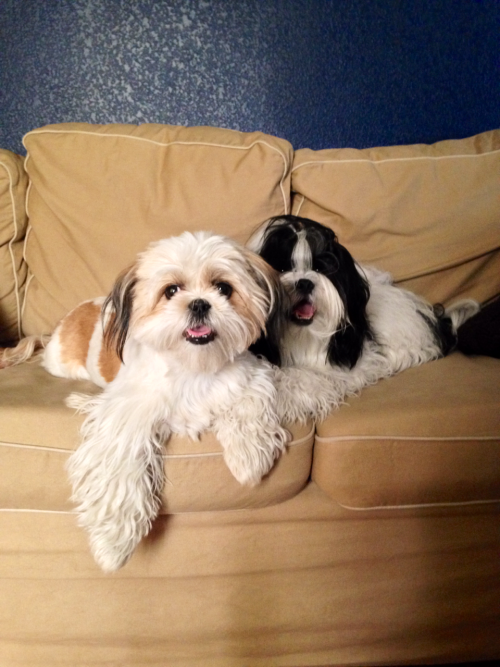 Ready For The Photoshoot With Images Cute Animals Shih Tzu Puppies