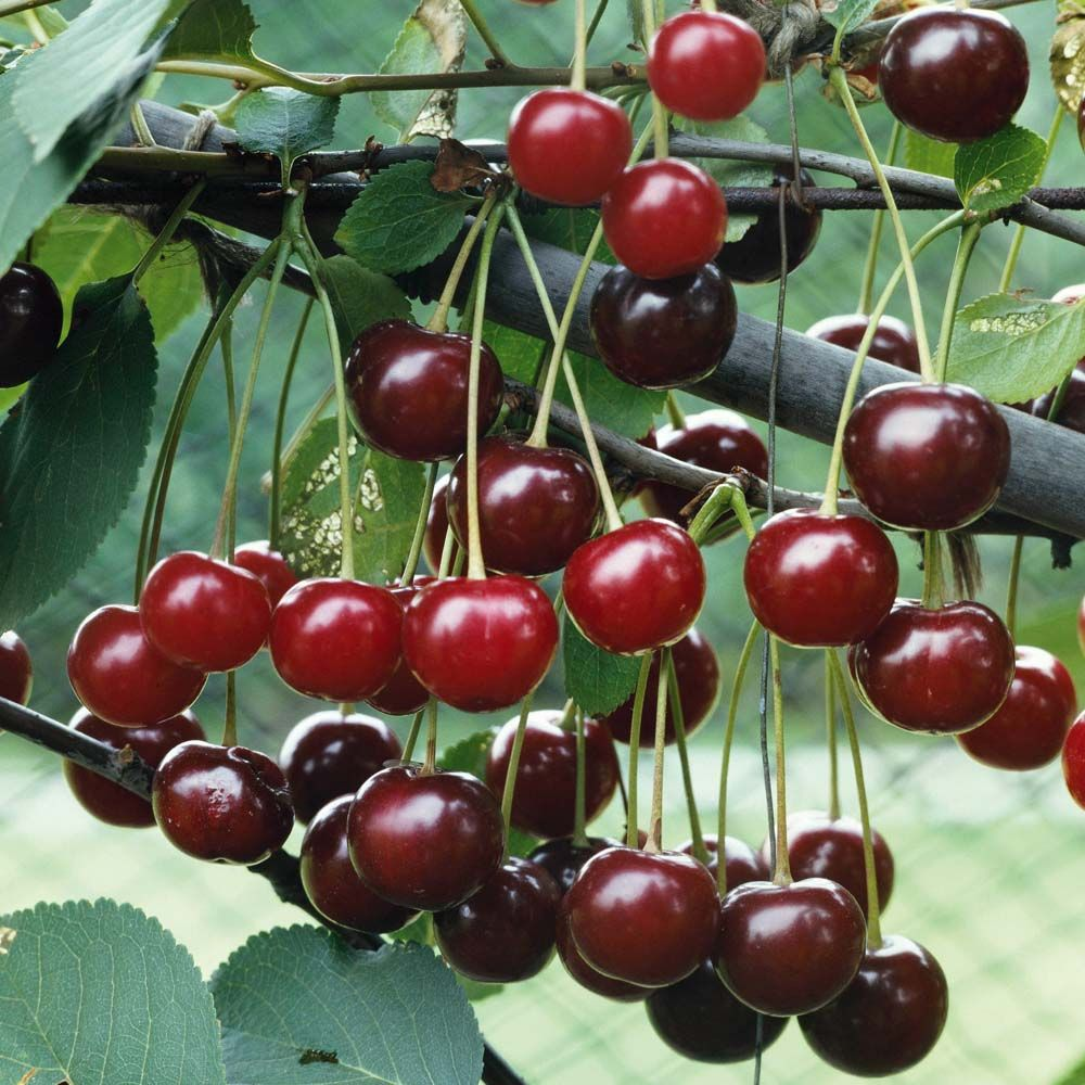 Fruit Trees Bing Images With Images Cherry Fruit Tree Fruit Trees Uk Fruit Trees