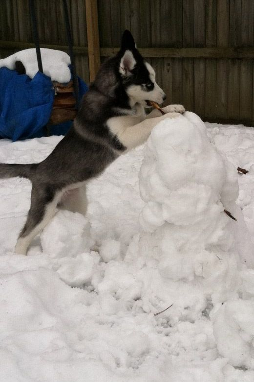 A Snowdog Building A Snowman Courtesy Of Neighbor Christine K From East Amherst Ny Pet Supplies Plus Natural Pet Food Pets