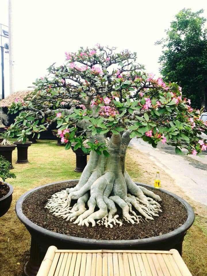 Aspirational Bonsai Tree Care Bonsai Garden