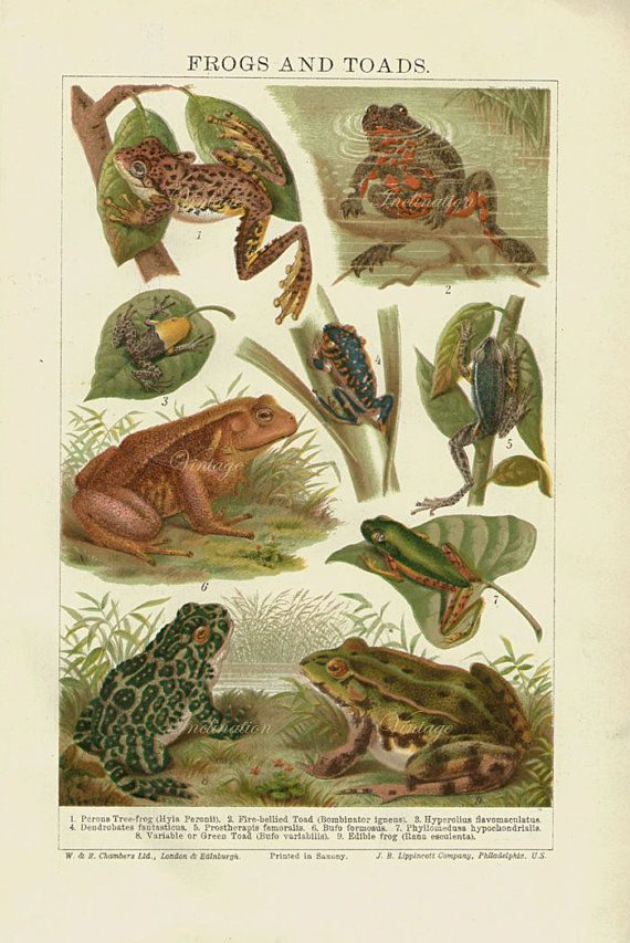 Antique Print Frogs And Toads Chart 1907 Beautiful Wall Art Vintage Color Lithograph Illustration Chromolithogr Frog And Toad Chromolithograph Antique Prints