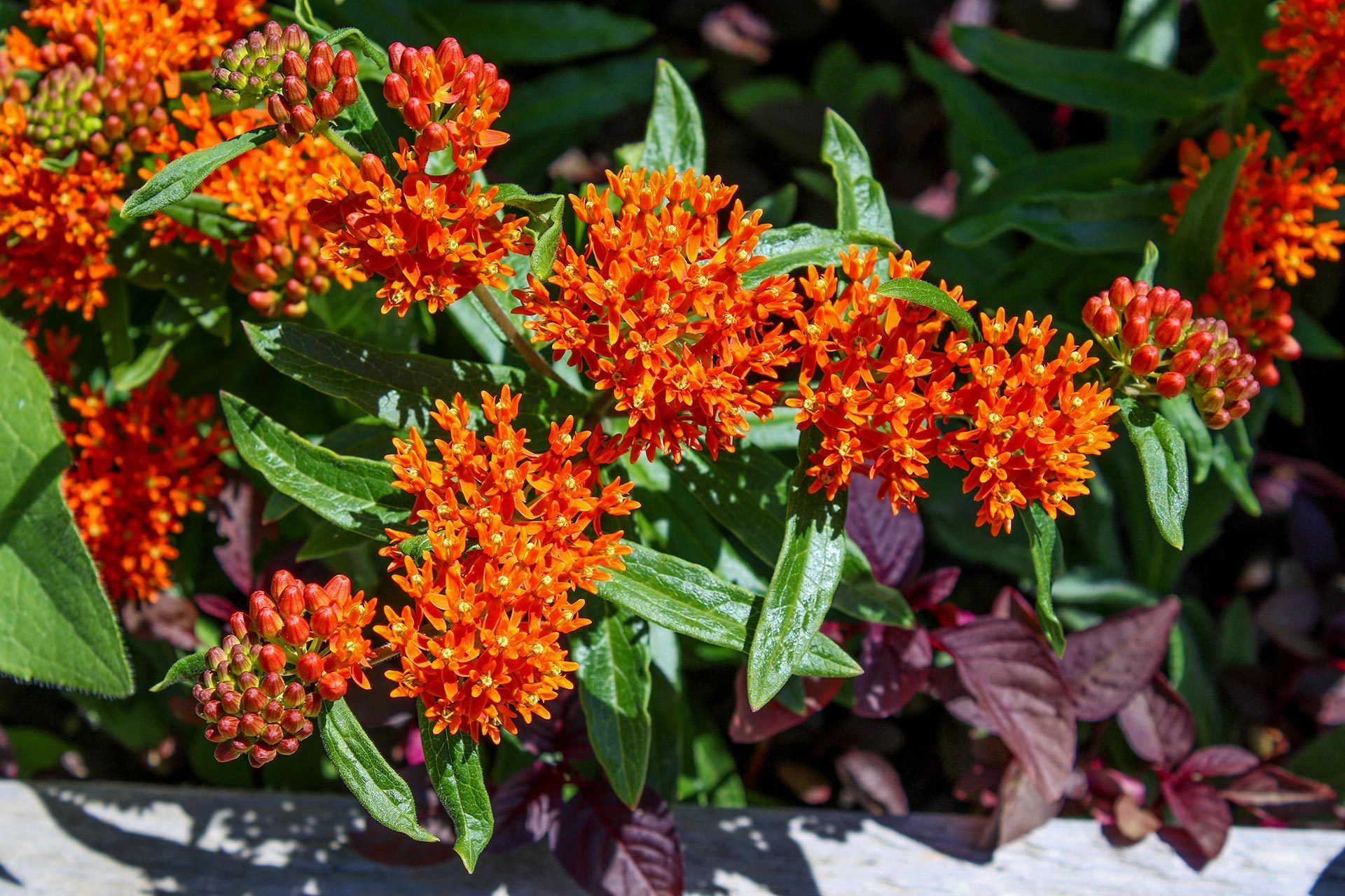 how to plant milkweed seeds from pods