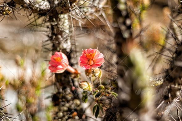 Realistic Graphic DOWNLOAD (.ai, .psd) :: http://jquery-css.de/pinterest-itmid-1006907514i.html ... blooming cactus ...  beautiful, beauty, beige, blooming, blossom, brown, cacti, cactus, close, closeup, colorful, decoration, desert, flora, floral, flower, natural, nature, orange, plant, red, succulent, thorn, tropical  ... Realistic Photo Graphic Print Obejct Business Web Elements Illustration Design Templates ... DOWNLOAD :: http://jquery-css.de/pinterest-itmid-1006907514i.html
