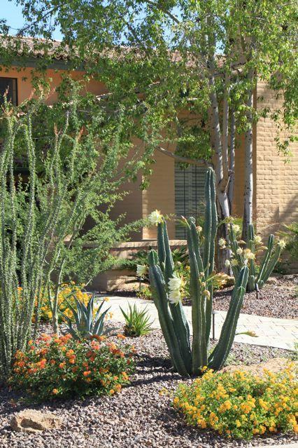 Night Bloom Cereus Succulent Landscape Design Desert Landscaping Succulent Landscaping