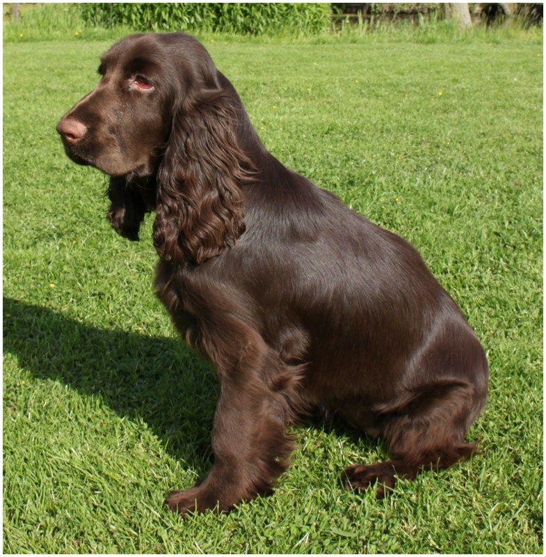 Field Spaniel Facts For Kids Pictures Breeders Puppies