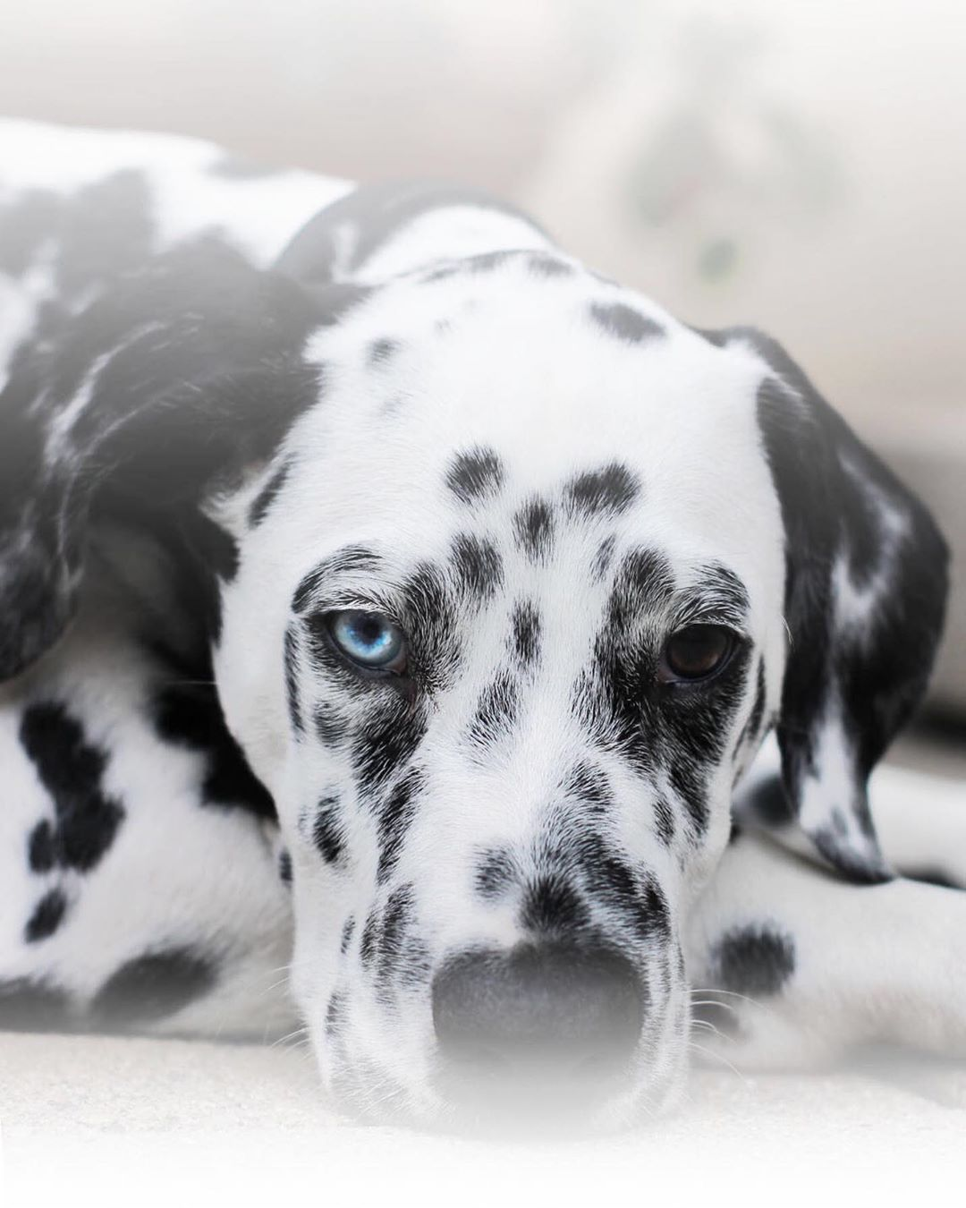 Nothing Makes Me Smile More Than Looking Into The Face Of A Dog That Luves Me Ihr Lieben Habt Einen Schonen Tag Dogs Dog Friends Dalmatian Puppy