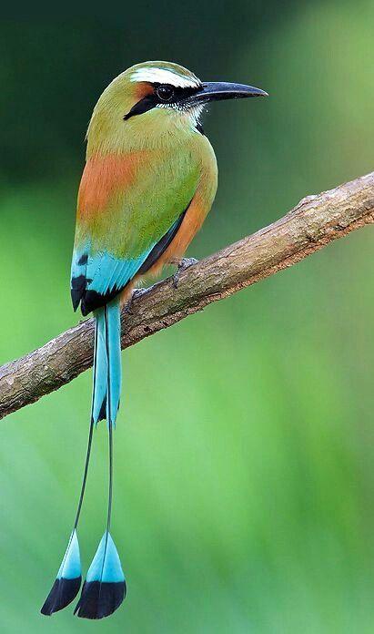 Ave Nacional Del Salvador : nacional, salvador, Torogoz., Nacional, Salvador., Beautiful, Birds,, Nature, Birds