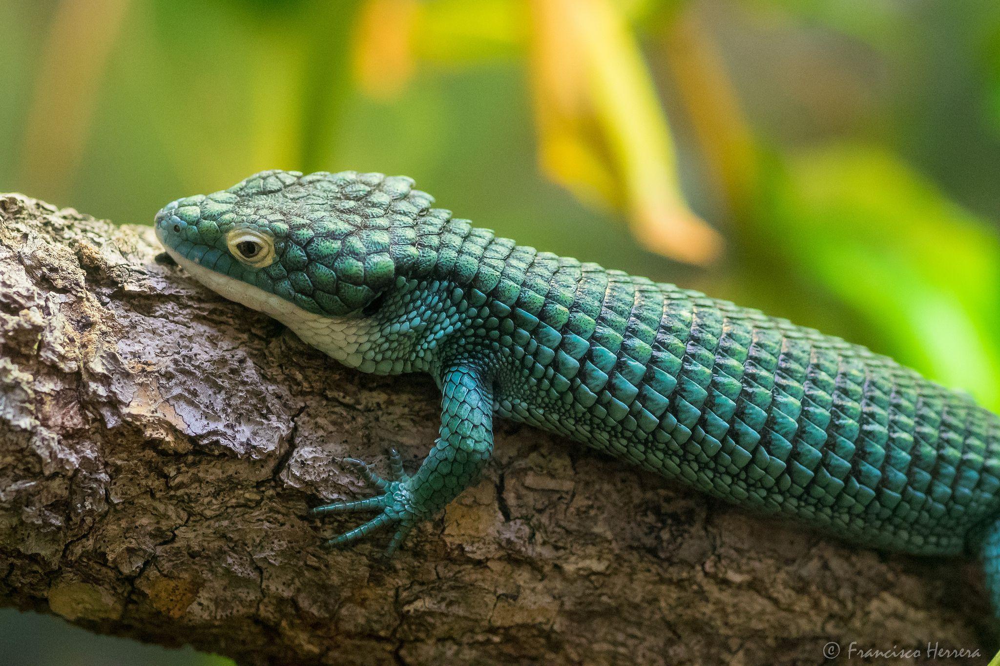 Terrestrial Arboreal Alligator Lizard (Abronia graminea