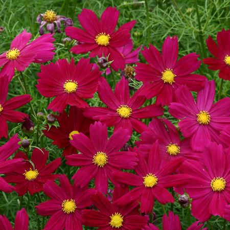 Cosimo Purple Red Cosmos Annual Flowers Flower Seeds Cosmos Flowers