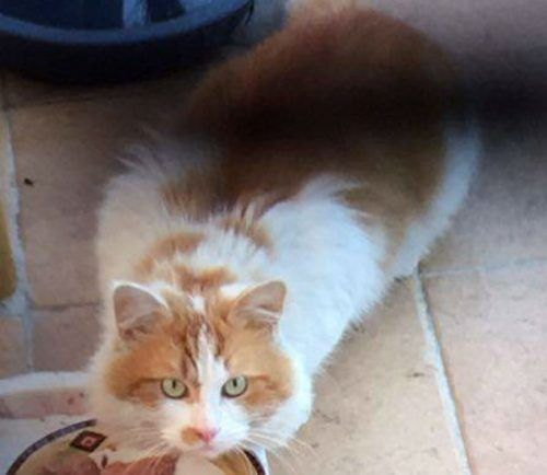 Adopted White And Ginger Long Haired Cat Preston 3072 Melbourne Vic Lost Cat Found Cat Long Haired Cats