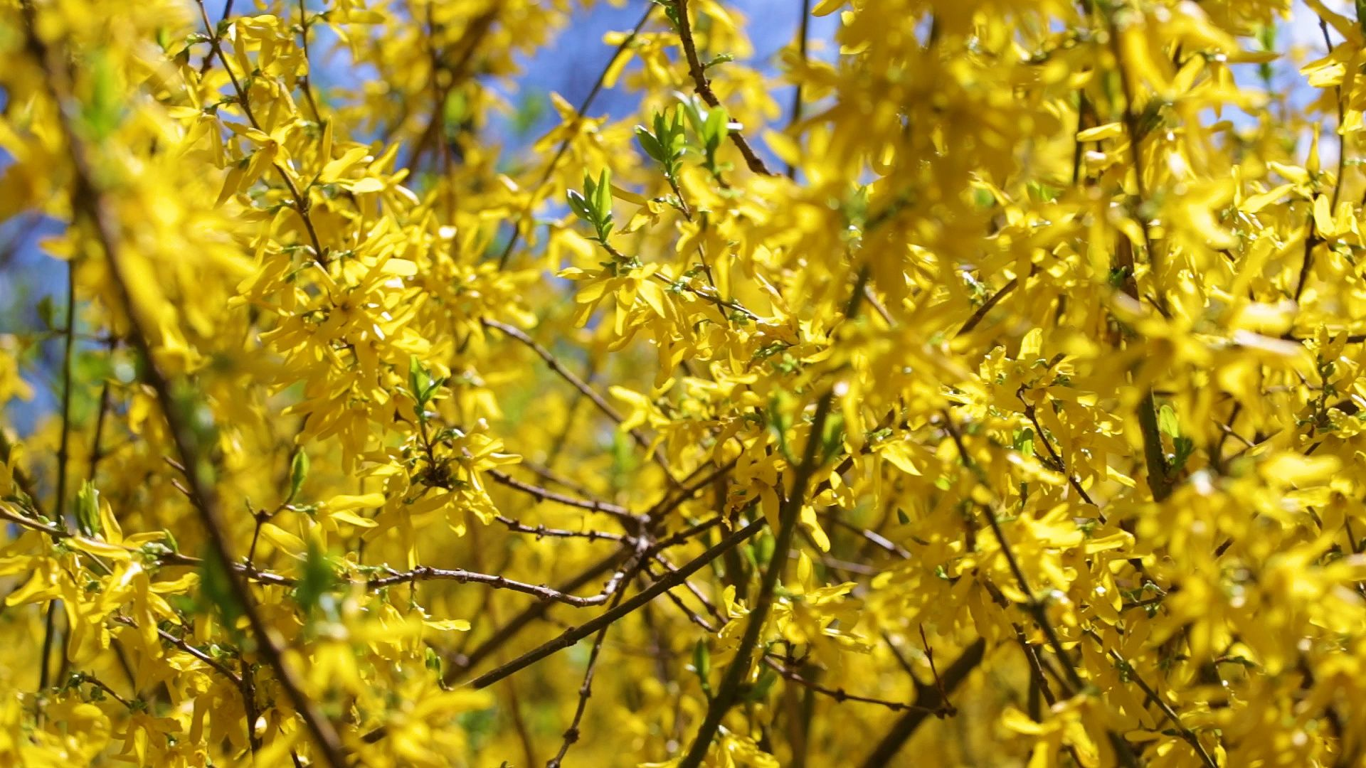 Yellow Spring Blooming Nature Background Stock Footage Blooming Spring Yellow Nature Nature Backgrounds Yellow Springs Nature