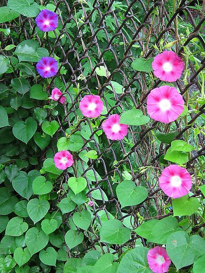 More Morning Glories For My Chain Link Fence Fence Landscaping Green Fence Garden Vines
