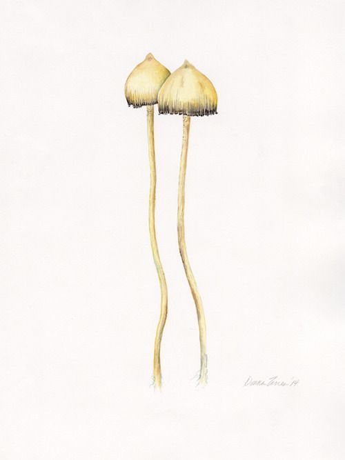 criminalwisdom:  Tis the season.  Psilocybe semilanceata watercolor on paper 16 x 12 in Donna Torres  (Source: to-see-clearly )
