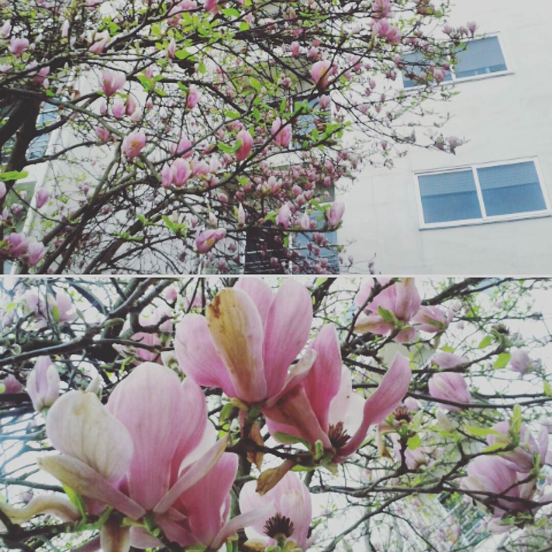 The Magnolia Trees Will Shed Soon Get Your Views In While Supplies