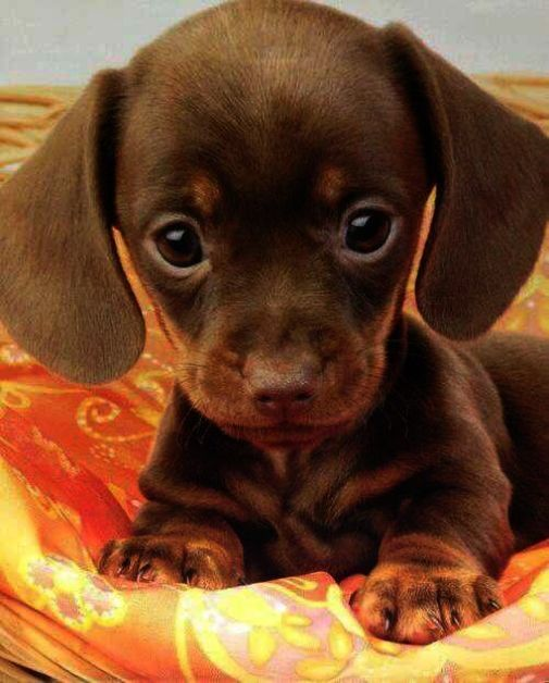 Ah Puppies For Sale In Nc Craigslist Repin Cute Animals Cute Little Puppies Baby Animals