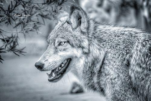 Wolf ذيب Animals Dogs Husky
