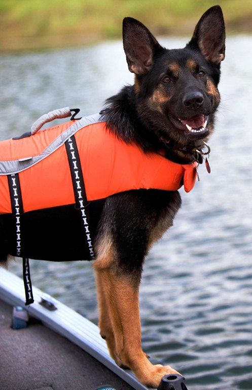 Brea A German Shepherd Search And Rescue Dog Tracks Scents From
