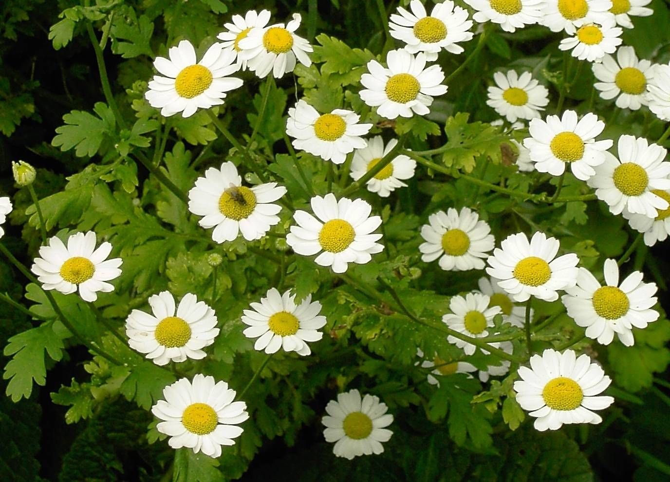 Feverfew Feverfew Seeds For Sale Seeds