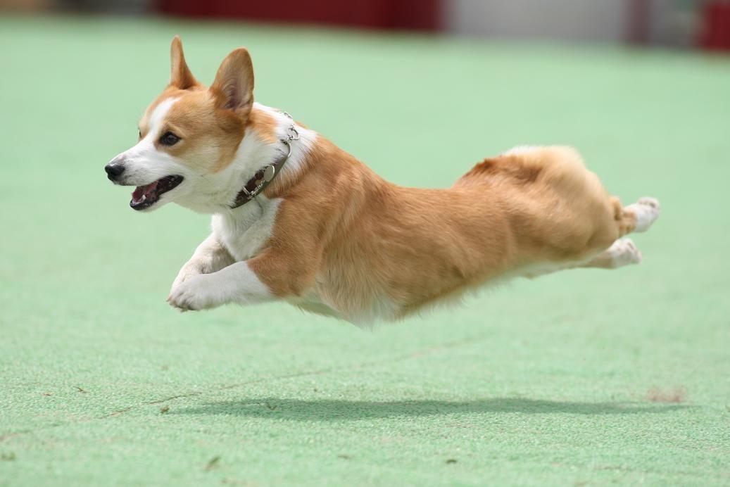 Welsh Corgi Pembroke Corgi Hund Niedliche Hunde Hunde