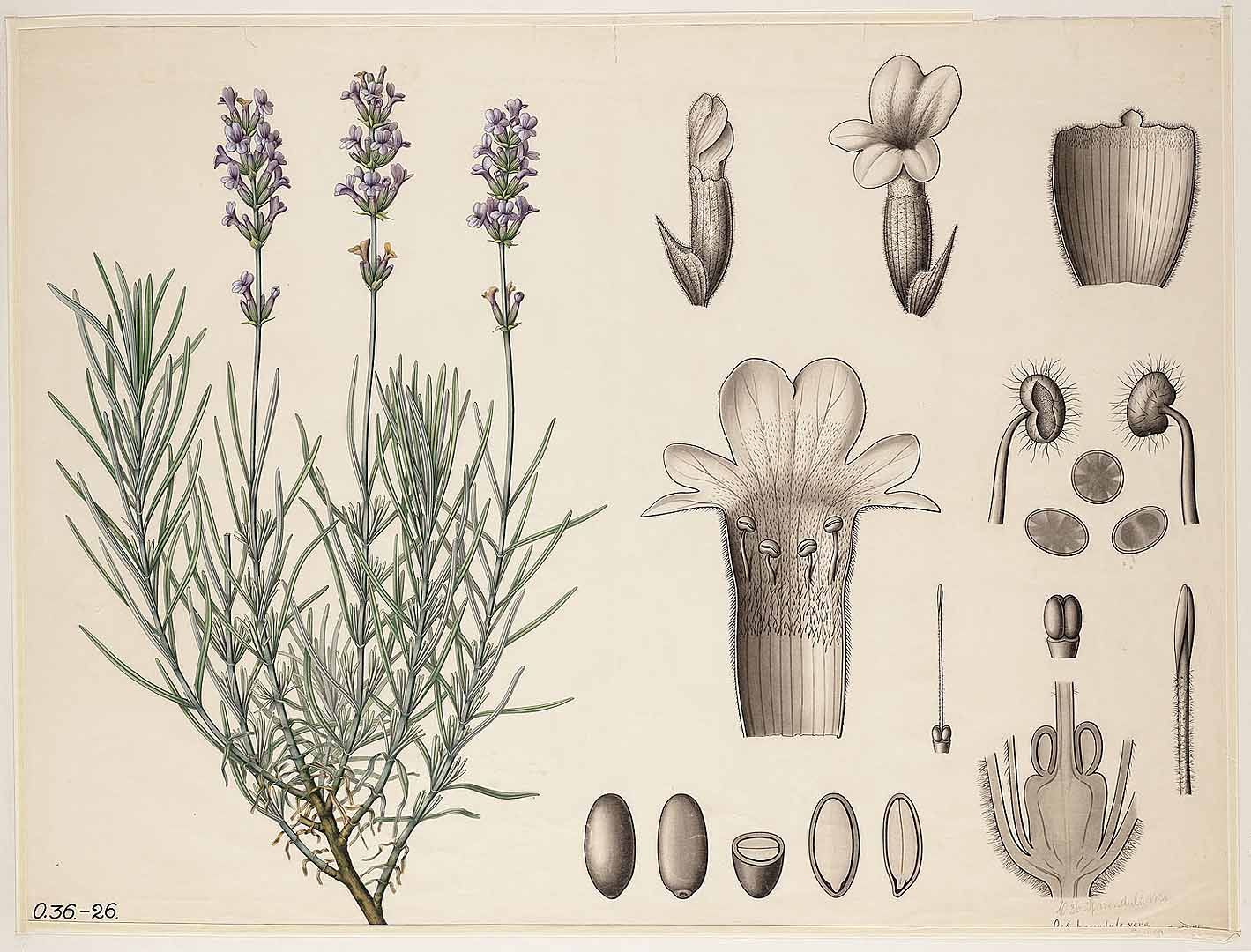 195406 Lavandula angustifolia Moench [as Lavandula vera DC.]  / Botanische wandplaten,  ()