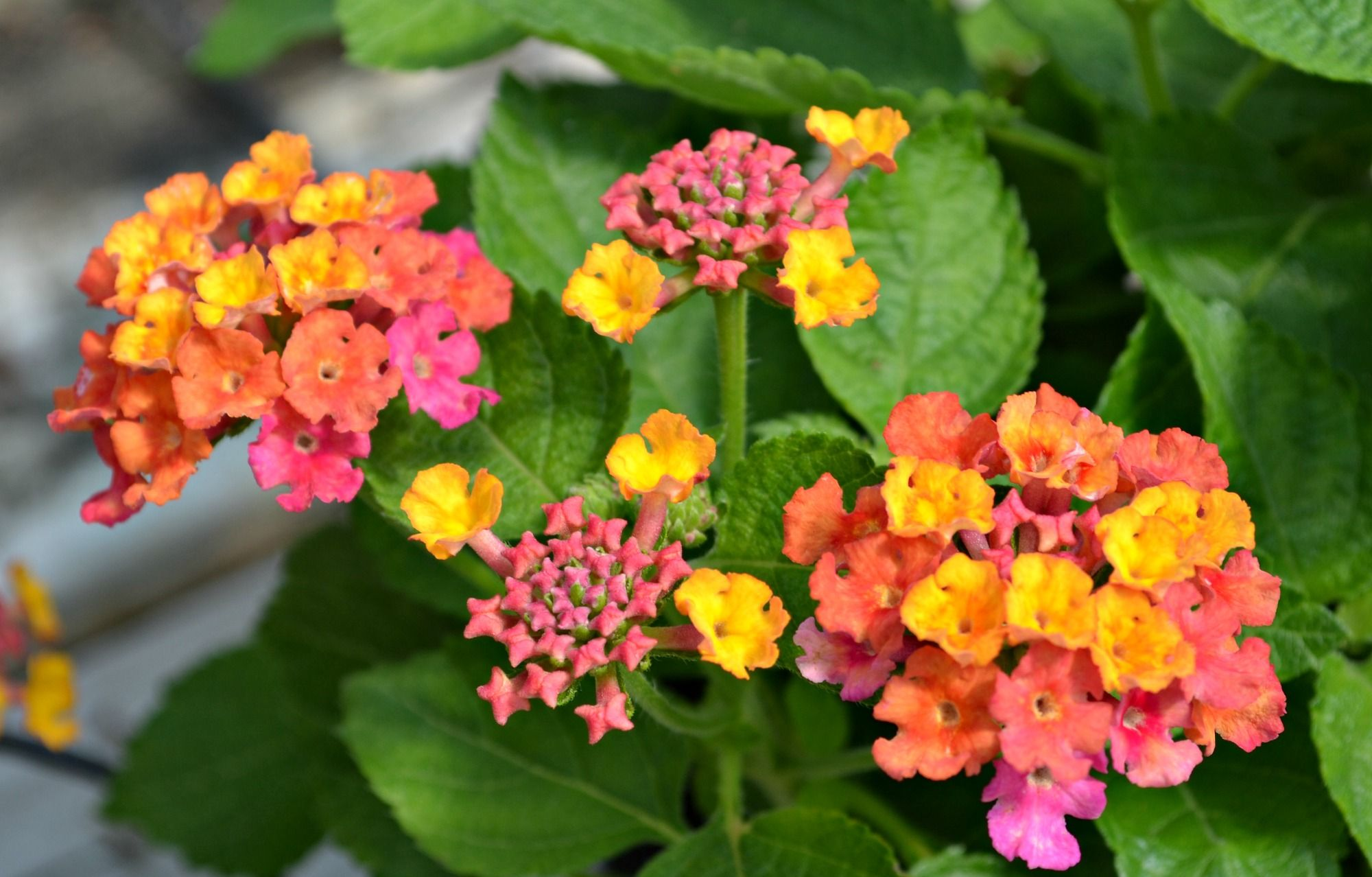 Miss Huff Lantana Butterflies And Hummingbirds Are Highly Attracted To The Orange Yellow Pink Blooms On This Variety That Ke Lantana Making Plant Pots Plants