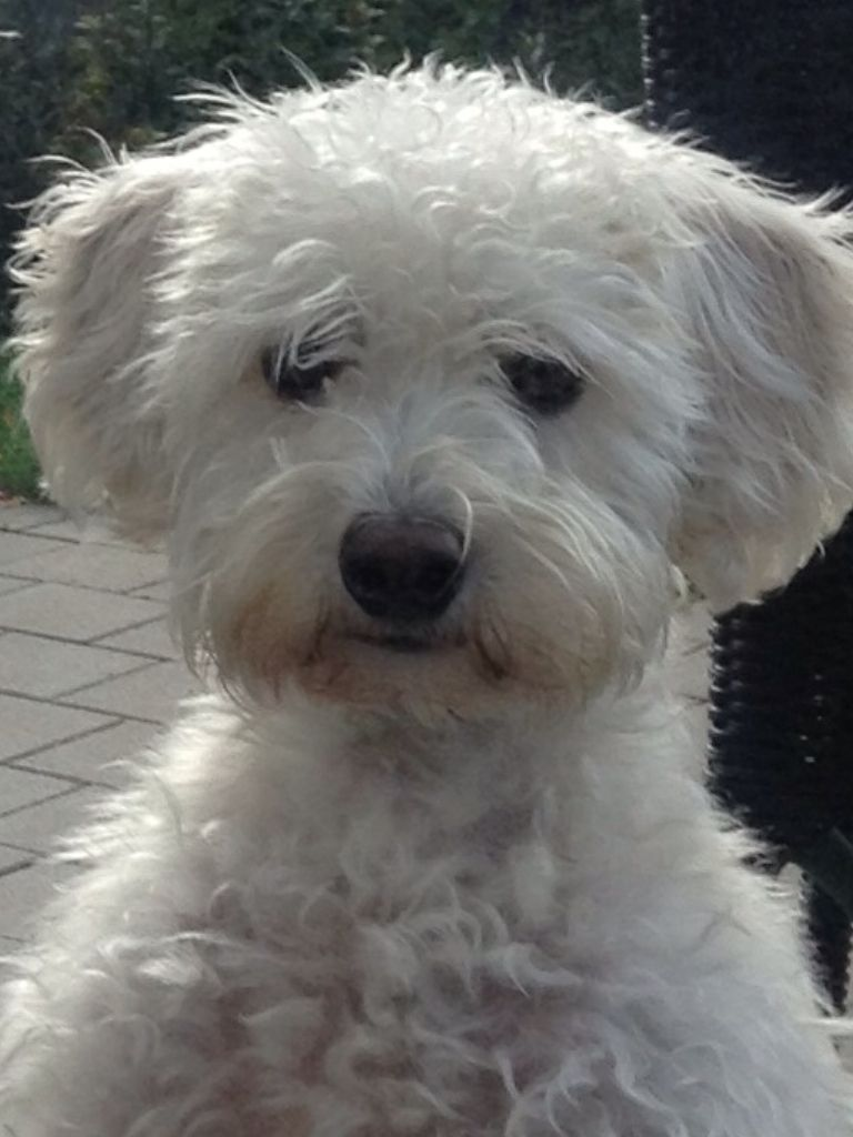 Coming to our family in august a white schnoodle