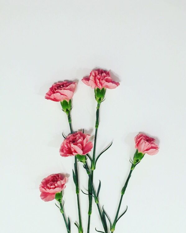 Dianthus Caryophyllus Carnations Flower Wallpaper Carnation Flower Plant Photography