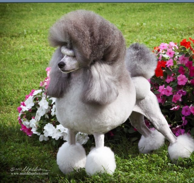 Pin By Aubrey Goodall On Shaded Poodle Mini Poodles Purebred Dogs