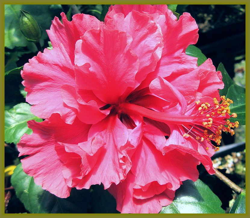 Delite Double Yellow Flower Tropical Hibiscus Live Plant Landscape