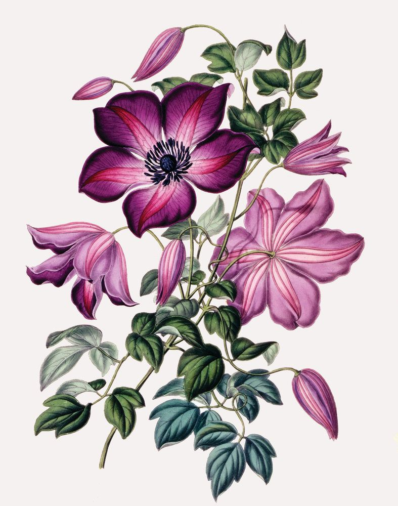 Clematis Flower drawing, Flower art, Flower painting