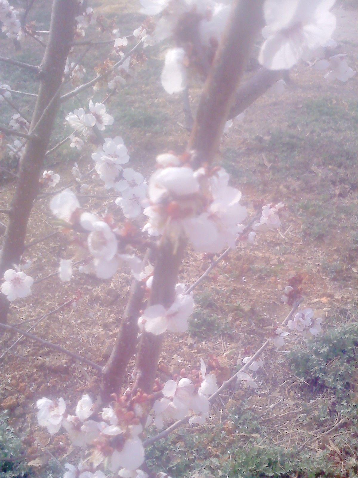 청인정방에 매화 꽃이 만개를 하였습니다.    올해부터는 매실 소출이 많을 것 같습니다.    쑥도 많이 올라오고.. 상큼한 봄내음이 가득한 청인정방이었습니다.         작성일 : 09-04-13 09:16