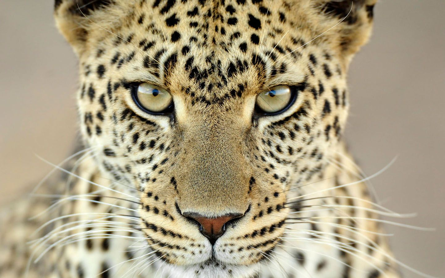 Female Leopard Tanzania 1440x900 Wallpapers Animal Wallpapers