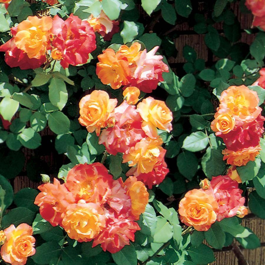 Pinata Climbing Rose Garden Climbing Roses Rose