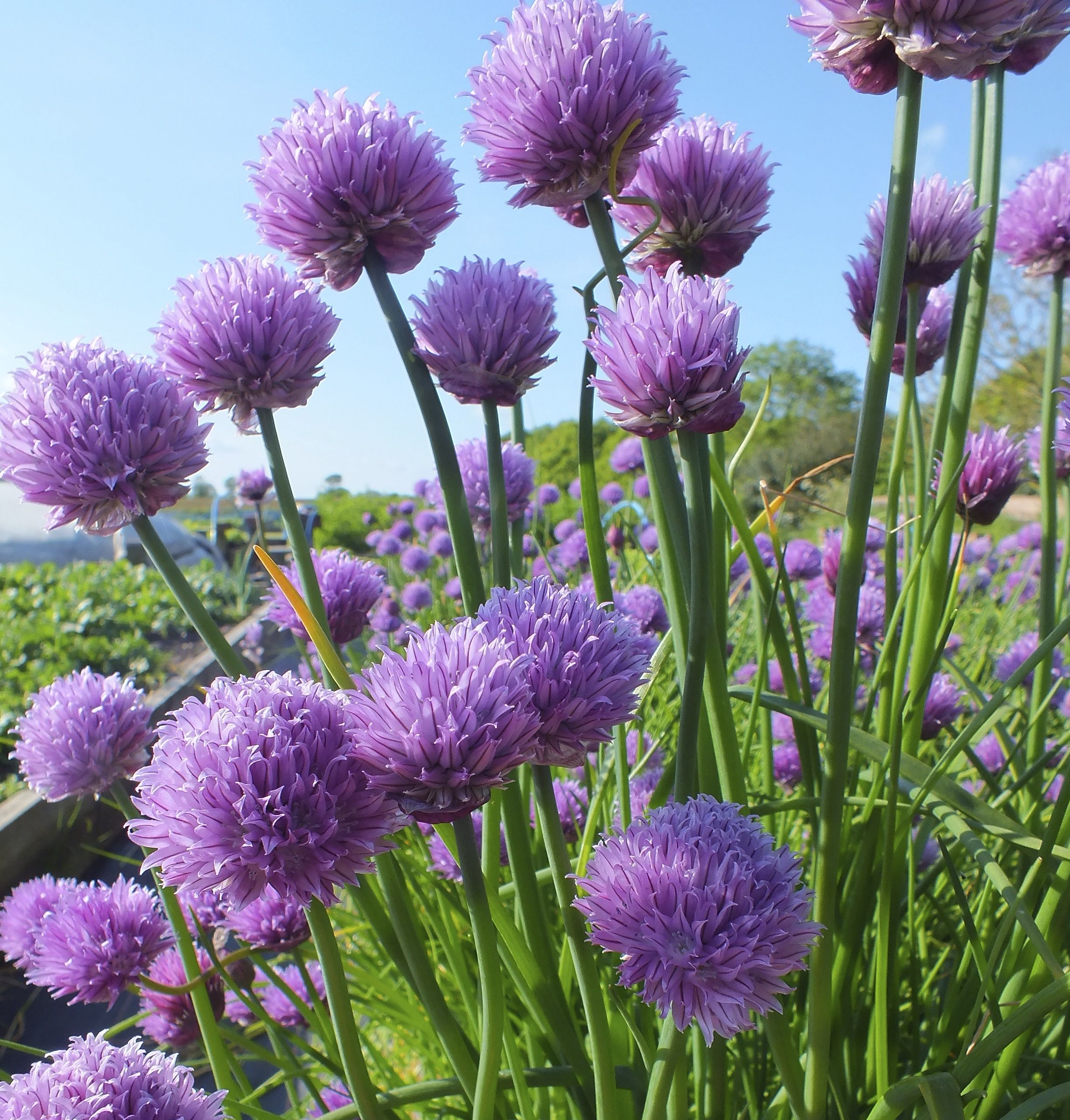 Chives Growing At Maddocks Farm Organics Chive Flower Edible Roses Growing Chives