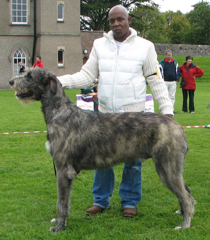 Best 10 English Wolfhound Pictures Image Gallery Huge Dogs