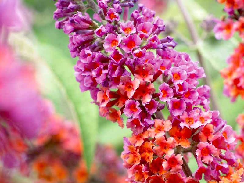 Motyli Ker Prodej Sazenic Garlo Cz Flowers Perennials Butterfly Bush Biennial Plants