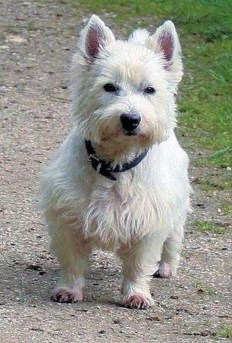 Those Pups Have Been Chosen And Bred To Receive The West Highland
