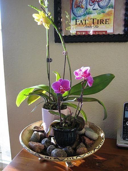 Grow Orchids at home #growingorchids Grow Orchids at home #growingorchids