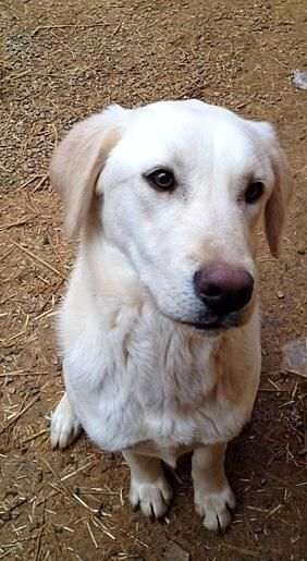 Adopt Jackie On Labrador Retriever Labrador Retriever Dog Retriever Dog