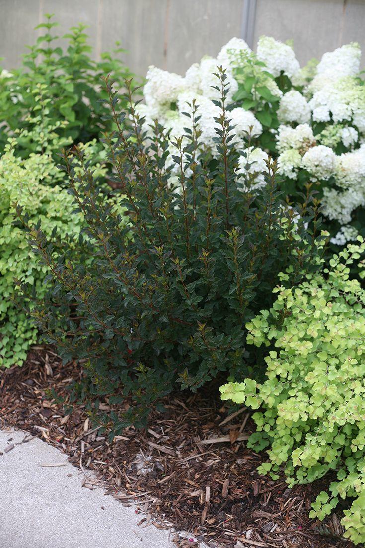 Tiny Wine Ninebark Physocarpus Opulifolius Plants Proven Winners Plants Ninebark Shrub