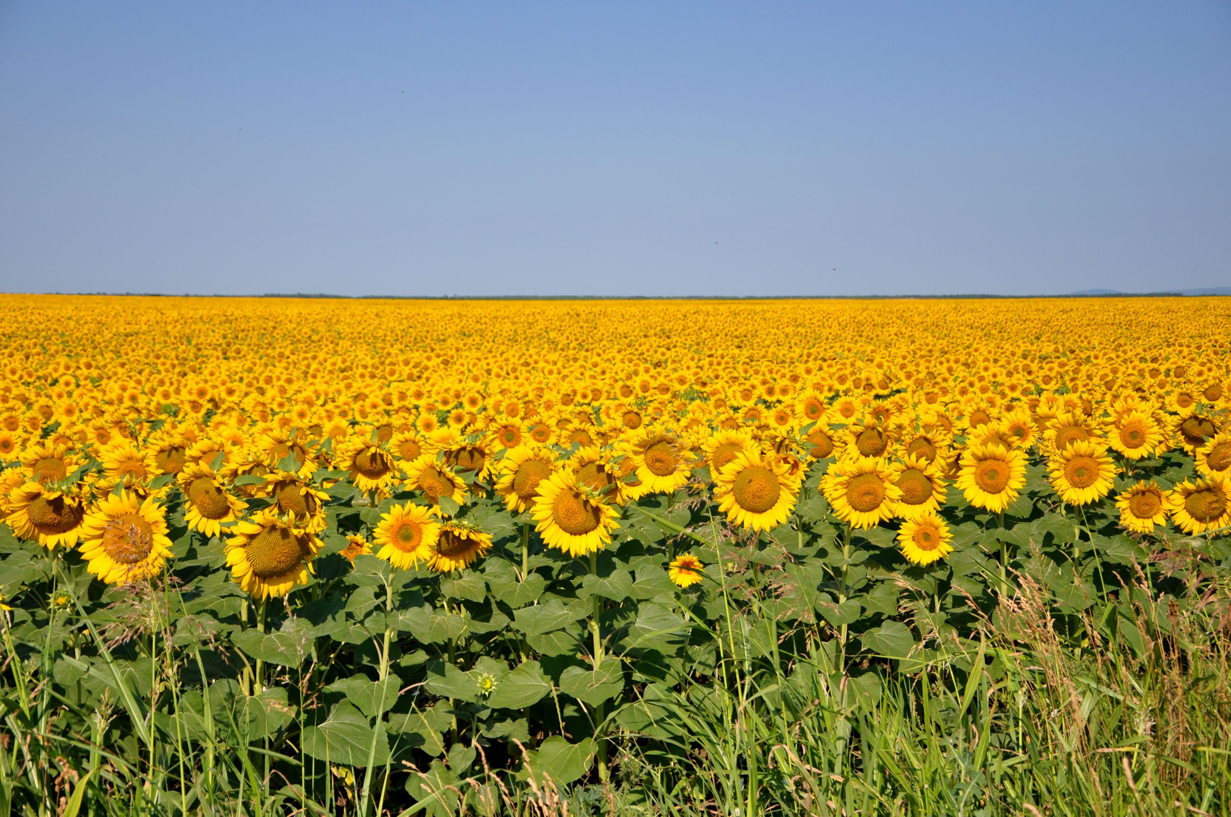 #Serbia, #Srbija, Highway through the Sunflower fields near Beska in Vojvodina province, Serbia - So beautiful I couldn't resist to stop and make a photo...