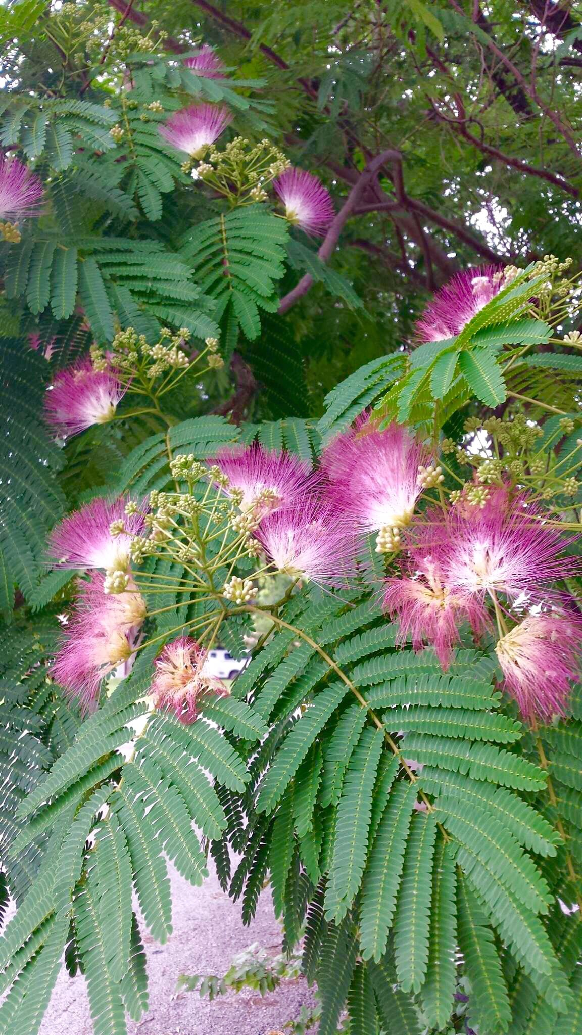 Mimosa Tree In Delaware They Smell Unbelievably Good What A